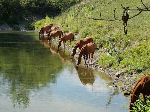 Horses along the Bow River near Bowmont Park